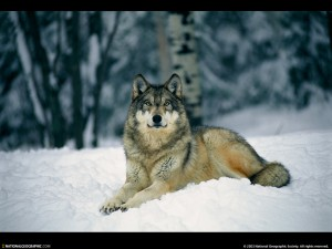 absolutely-beautiful-wolf